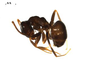 (Lasius paralienus - CCDB-10376-G08)  @15 [ ] Copyright  G. Blagoev 2010 Unspecified