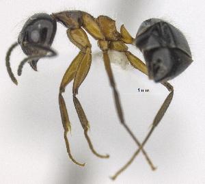 "(Dolichoderus germaini - MACN-bar-ins-ct 06451)  @14 [ ] Copyright (2069) MACN Museo Argentino de Ciencias Naturales ""Bernardino Rivadavia"""