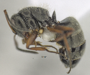 "(Camponotus brasiliensis - MACN-bar-ins-ct 06454)  @11 [ ] Copyright (2072) MACN Museo Argentino de Ciencias Naturales ""Bernardino Rivadavia"""