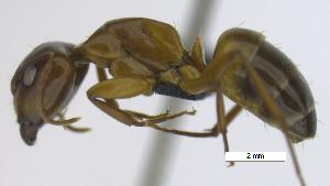 "(Camponotus fuscocinctus - MACN-Bar-Ins-ct 07168)  @11 [ ] Copyright (2016) MACN Museo Argentino de Ciencias Naturales ""Bernardino Rivadavia"""