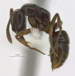 (Pachycondyla lunaris - MACN-Bar-Ins-5605)  @11 [ ] Copyright (2014) MACN Museo Argentino de Ciencias Naturales ``Bernardino Rivadavia´´