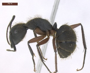 "(Camponotus rufipes - MACN-Bar-Ins-ct 02884)  @15 [ ] Copyright (2013) MACN Museo Argentino de Ciencias Naturales ""Bernardino Rivadavia"""