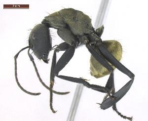 "(Camponotus sericeiventris - MACN-Bar-Ins-ct 02908)  @15 [ ] Copyright (2013) MACN Museo Argentino de Ciencias Naturales ""Bernardino Rivadavia"""