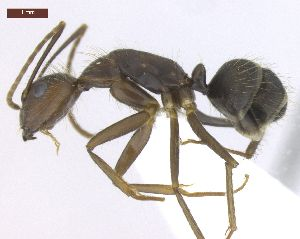 "(Camponotus cingulatus - MACN-Bar-Ins-ct 02927)  @15 [ ] Copyright (2013) MACN Museo Argentino de Ciencias Naturales ""Bernardino Rivadavia"""