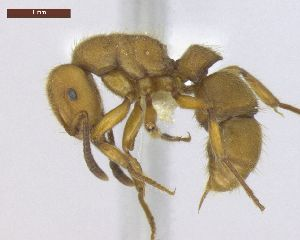 "(Heteroponerinae - MACN-Bar-Ins-ct 02946)  @14 [ ] Copyright (2013) MACN Museo Argentino de Ciencias Naturales ""Bernardino Rivadavia"""