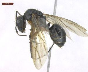 "(Camponotus renggeri - MACN-Bar-Ins-ct 02948)  @12 [ ] Copyright (2013) MACN Museo Argentino de Ciencias Naturales ""Bernardino Rivadavia"""