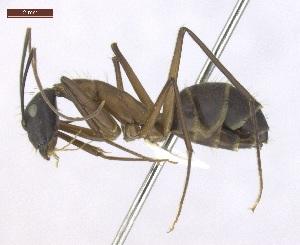 "(Camponotus lespesii - T2P32008PNIC10)  @11 [ ] Copyright (2013) MACN Museo Argentino de Ciencias Naturales ""Bernardino Rivadavia"""
