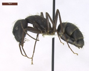 "(Camponotus cf. landolti - T6P12008PNID07)  @15 [ ] Copyright (2013) MACN Museo Argentino de Ciencias Naturales ""Bernardino Rivadavia"""