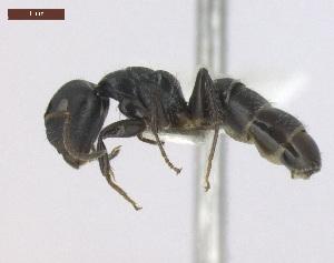 "(Camponotus striatus - T6P22008PNIE11)  @14 [ ] Copyright (2013) MACN Museo Argentino de Ciencias Naturales ""Bernardino Rivadavia"""