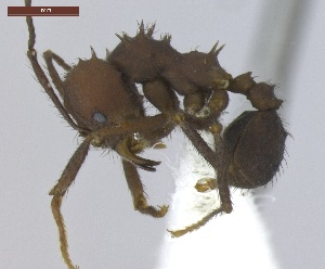 "(Acromyrmex laticeps - MACN-Bar-Ins-ct 04979)  @11 [ ] Copyright (2013) MACN Museo Argentino de Ciencias Naturales ""Bernardino Rivadavia"""