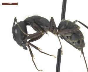 "(Camponotus sp2 - MACN-Bar-Ins-ct 04999)  @11 [ ] Copyright (2013) MACN Museo Argentino de Ciencias Naturales ""Bernardino Rivadavia"""