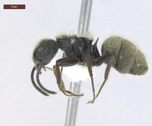 "(Dolichoderus bispinosus - MACN-Bar-Ins-ct 05010)  @15 [ ] Copyright (2013) MACN Museo Argentino de Ciencias Naturales ""Bernardino Rivadavia"""
