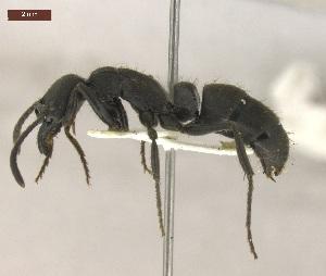 "(Pachycondyla striata - MACN-Bar-Ins-ct 05051)  @15 [ ] Copyright (2013) MACN Museo Argentino de Ciencias Naturales ""Bernardino Rivadavia"""