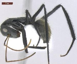 "(Camponotus depressus - MACN-Bar-Ins-ct 05144)  @11 [ ] Copyright (2013) MACN Museo Argentino de Ciencias Naturales ""Bernardino Rivadavia"""