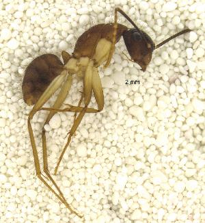 "(Camponotus PEH01 - MACN-Bar-Ins-ct 06802)  @13 [ ] Copyright (2015) MACN Museo Argentino de Ciencias Naturales ""Bernardino Rivadavia"""