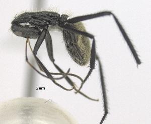 "(Camponotus trapezoideus - MACN-bar-ins-ct 06882)  @11 [ ] Copyright (2015) MACN Museo Argentino de Ciencias Naturales ""Bernardino Rivadavia"""