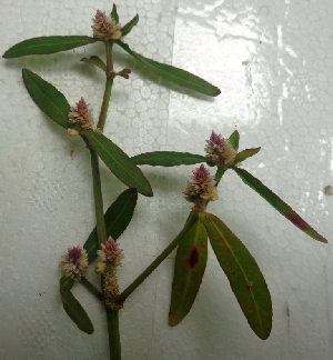 (Alternanthera philoxeroides - AQN34)  @11 [ ] Copyright (2014) PHCDBS Paul Hebert Centre For DNA Barcoding And Biodiversity Studies