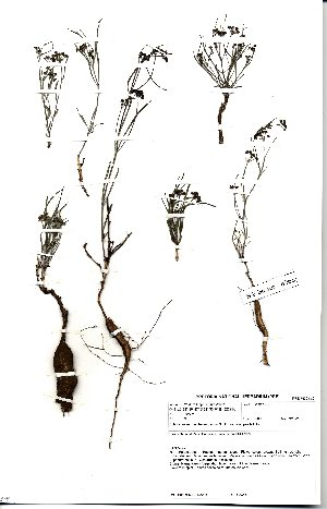 (Schizoglossum - SPB06266)  @11 [ ] No Rights Reserved  Unspecified Unspecified