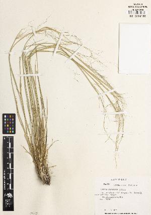 (Jarava - RA03)  @11 [ ] CreativeCommons – Attribution Non-Commercial Share-Alike (2014) James Solomon Missouri Botanical Garden, P.O. Box 299, St. Louis, Missouri, 63166-0299, U.S.A.