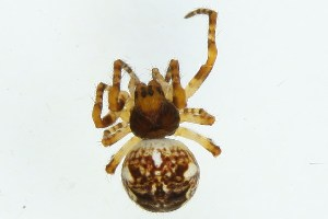 (Araneus cf. saevus - ZMUO.002642)  @13 [ ] CreativeCommons - Attribution Non-Commercial (2012) Marko Mutanen University of Oulu