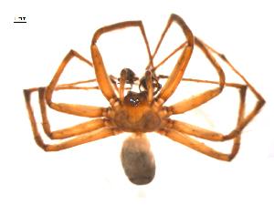 (Agelenopsis oklahoma - BIOUG14290-G10)  @13 [ ] CreativeCommons – Attribution Non-Commercial Share-Alike (2014) G. Blagoev Biodiversity Institute of Ontario