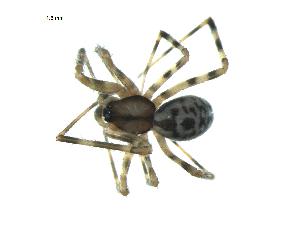 (Pimoidae - BIOUG07163-F11)  @13 [ ] CreativeCommons - Attribution Non-Commercial Share-Alike (2013) G. Blagoev Biodiversity Institute of Ontario
