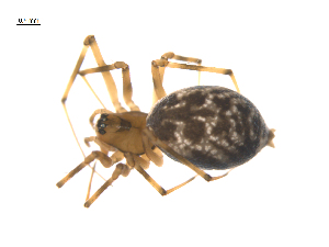 (Micronetinae - CCDB-28546-A08)  @14 [ ] by-nc-sa - Creative Commons - Attribution Non-Comm Share-Alike (2015) G. Blagoev Biodiversity Institute of Ontario