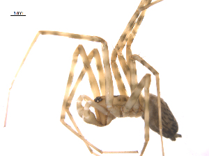 (Calymmaria - CCDB-28546-B08)  @14 [ ] CreativeCommons – Attribution Non-Commercial Share-Alike (2015) G. Blagoev Biodiversity Institute of Ontario