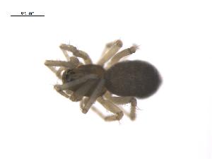 (Tarsiphantes - CCDB-28546-E06)  @13 [ ] by-nc-sa - Creative Commons - Attribution Non-Comm Share-Alike (2015) G. Blagoev Biodiversity Institute of Ontario