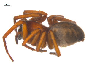 (Callobius nevadensis - CCDB-28549-F10)  @14 [ ] CreativeCommons - Attribution Non-Commercial Share-Alike (2015) G. Blagoev Centre for Biodiversity Genomics