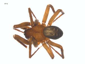 (Cybaeus patritus - CCDB-28552-C01)  @11 [ ] by-nc-sa - Creative Commons - Attribution Non-Comm Share-Alike (2015) G. Blagoev Biodiversity Institute of Ontario
