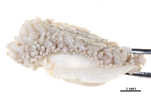 (Flabellina salmonacea - BIOUG14668-B04)  @14 [ ] CreativeCommons - Attribution Non-Commercial Share-Alike (2014) BIO Photography Group Biodiversity Institute of Ontario