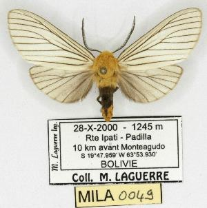 (Pseudischnocampa - MILA 0049)  @14 [ ] Copyright (2010) Unspecified Research Collection of Michel Laguerre