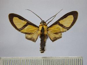(Xanthoarctia - BEVI0599)  @15 [ ] Copyright (2010) Benoit Vincent Research Collection of Benoit Vincent