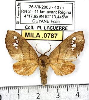 (Lalanneia - MILA 0787)  @13 [ ] Copyright (2010) Michel Laguerre Research Collection of Michel Laguerre