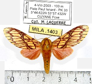 (Hypidalia - MILA 1403)  @13 [ ] Copyright (2010) Michel Laguerre Research Collection of Michel Laguerre