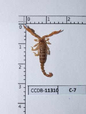 (Diplocentridae - CCDB-11310 C07)  @14 [ ] Copyright (2012) C. Viquez Instituto Nacional de Biodiversidad