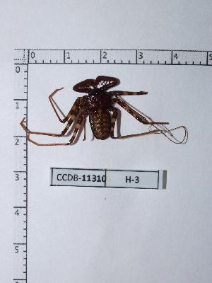 (Phrynus - CCDB-11310 H03)  @13 [ ] Copyright (2012) C. Viquez Instituto Nacional de Biodiversidad