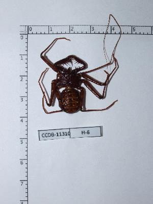 (Phrynus - CCDB-11310 H06)  @13 [ ] Copyright (2012) C. Viquez Instituto Nacional de Biodiversidad