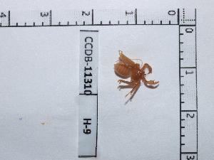 (Charinidae - CCDB-11310 H09)  @13 [ ] Copyright (2012) C. Viquez Instituto Nacional de Biodiversidad