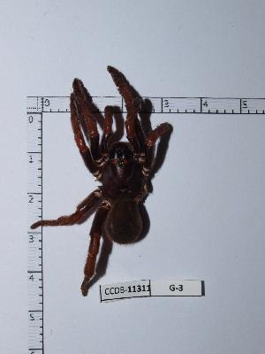 (Strophaeus - CCDB-11311 G03)  @12 [ ] Copyright (2012) C. Viquez Instituto Nacional de Biodiversidad