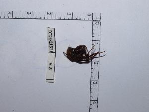 (Latrodectus sp - CCDB-11311 H08)  @13 [ ] Copyright (2012) C. Viquez Instituto Nacional de Biodiversidad