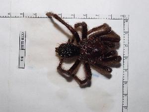 (Sphaerobothria - INB0003535238)  @11 [ ] Copyright (2012) C. Viquez Instituto Nacional de Biodiversidad