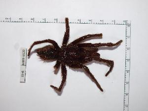 (Sphaerobothria - INB0004324062)  @11 [ ] Copyright (2012) C. Viquez Instituto Nacional de Biodiversidad