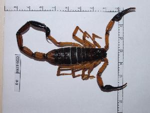 (Centruroides - INB0004324378)  @15 [ ] Copyright (2012) C. Viquez Instituto Nacional de Biodiversidad