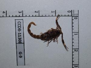 (Ananteris - INB0004325158)  @13 [ ] Copyright (2012) C. Viquez Instituto Nacional de Biodiversidad