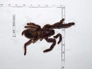 (Psalmopoeus - INB0004325188)  @11 [ ] Copyright (2012) C. Viquez Instituto Nacional de Biodiversidad
