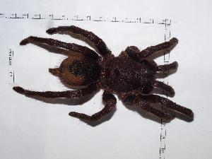 (Sericopelma - INB0004325192)  @11 [ ] Copyright (2012) C. Viquez Instituto Nacional de Biodiversidad
