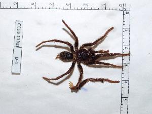 (Theraphosinae - INB0004325202)  @13 [ ] Copyright (2012) C. Viquez Instituto Nacional de Biodiversidad