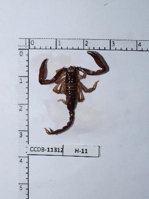 (Chactidae - INB0004328395)  @13 [ ] Copyright (2012) C. Viquez Instituto Nacional de Biodiversidad